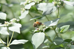 RR_Bees_Mint_Galore_0084